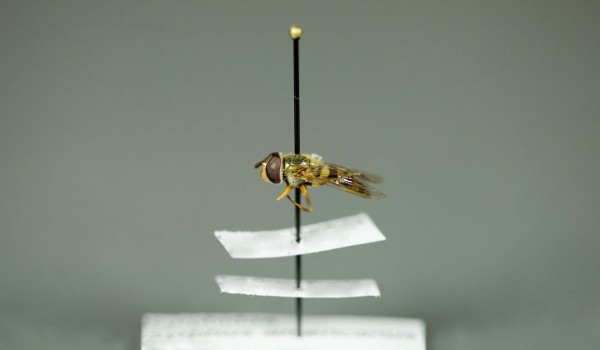 Photo of a preserved specimen of Syrphus americanus, side view.