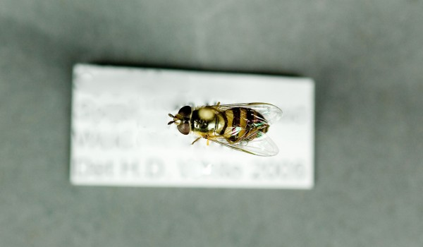 Photo of a preserved specimen of Syrphus americanus, back view.