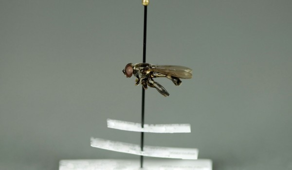 Photo of a preserved specimen of Spilomyia, side view.