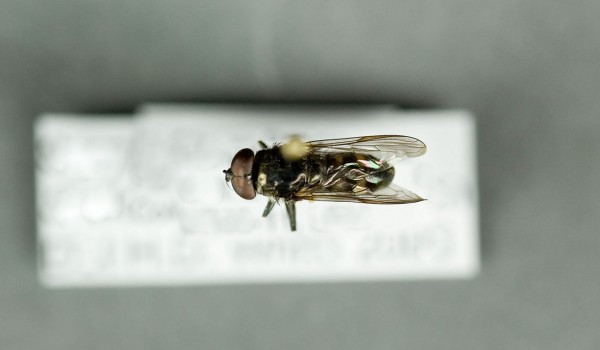 Photo of a preserved specimen of Spilomyia back view.