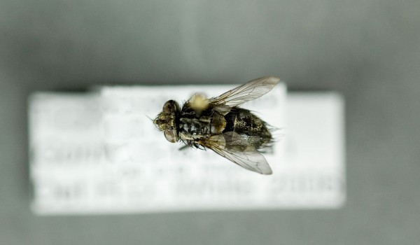 Photo of a preserved specimen of Gonia, back view.