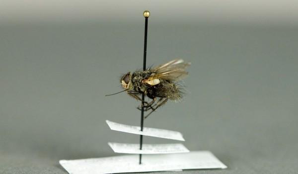 Photo of a preserved specimen of Mochlosoma, side view.