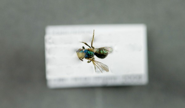 Photo of a preserved specimen of Augochloropsis metallica fulgida, back view.