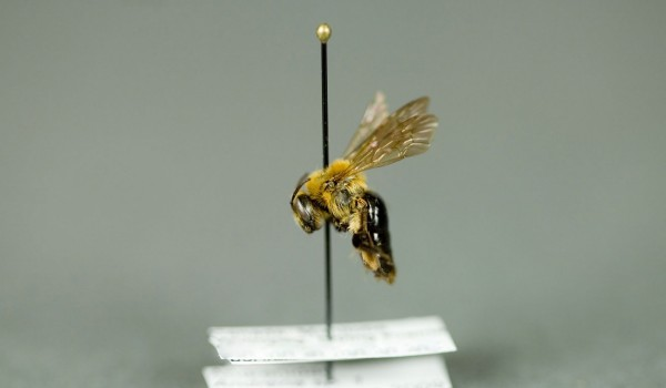 Photo of a preserved specimen of Andrena, side view.