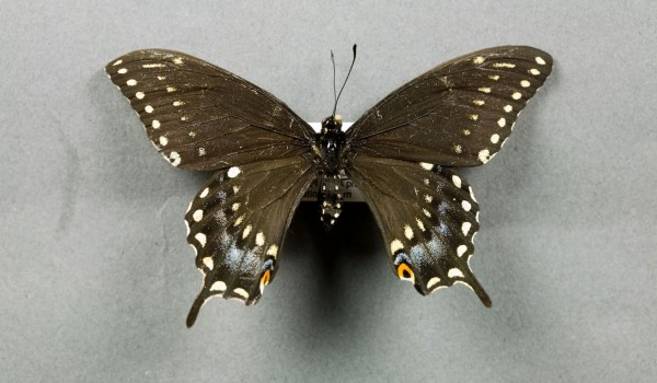 Photo of a preserved specimen of Black Swallowtail butterfly (Papilio polyxenes), back view.