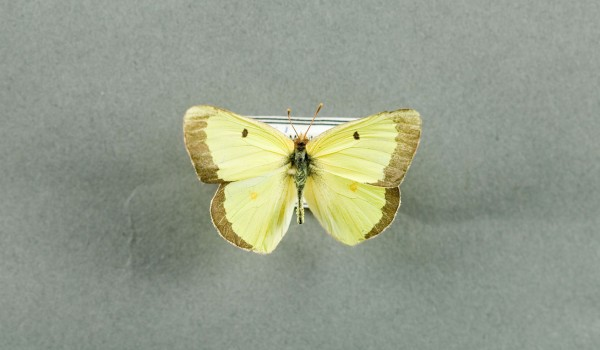 Photo of a preserved specimen of a Pink-edged Sulphur butterfly (Colias interior), back view.