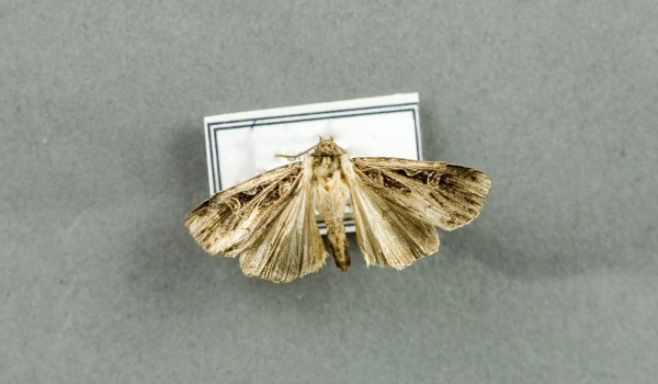 Photo of a preserved specimen of Euxoa divergens, back view.