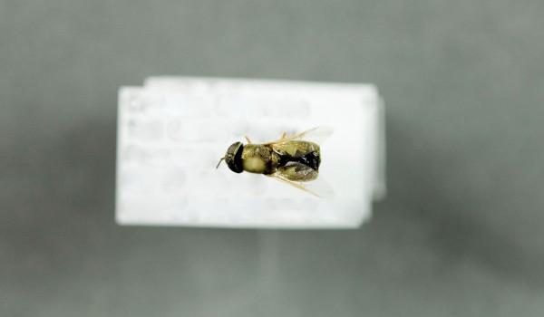 Photo of a preserved specimen of Odontomyia virgo, dorsal view.