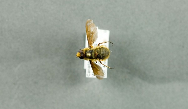 Photo of a preserved specimen of Poecilanthrax tegminipennis, back view.