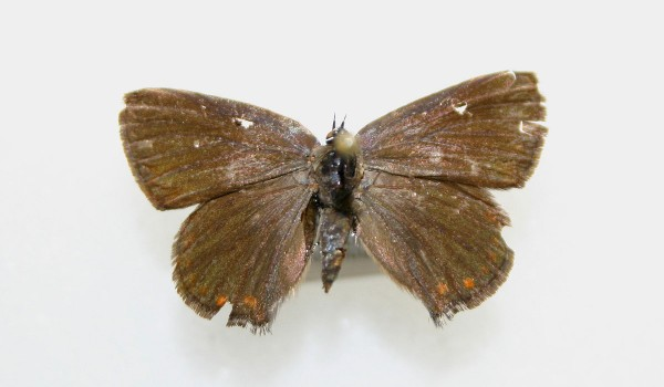 Photograph of a preserved specimen of Coral Hairstreak butterfly (Satyrium titus), back view.