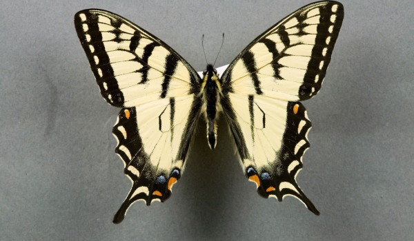 Photo of a preserved specimen of Tiger Swallowtail butterfly (Papilio glaucus canadensis) dorsal view, TMM 6740.