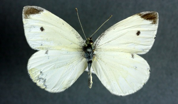 Photo of a preserved specimen of a Small Cabbage White butterfly (Pieris rapae), back view.