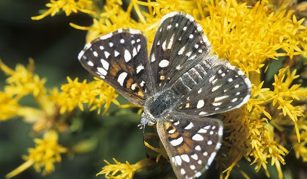 Photo of a Mormon Metalmark butterfly on an aster flower head.
