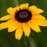 Photo of a Black-eyed Susan plant.