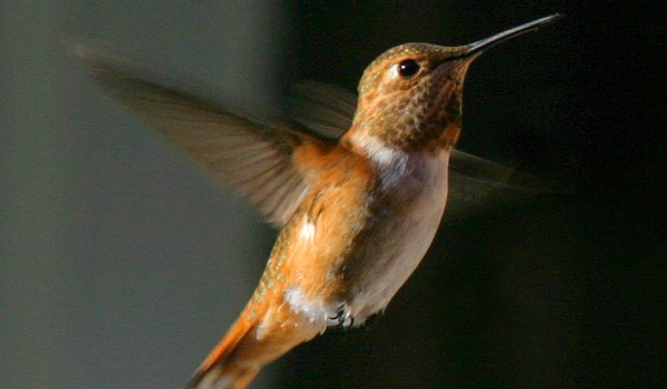 Photo of a mature male Rufous Hummingbird (front and side view).