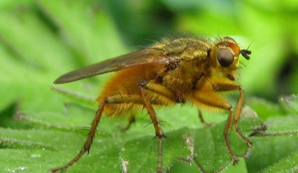 Photo of a scathophagid fly on a leaf.