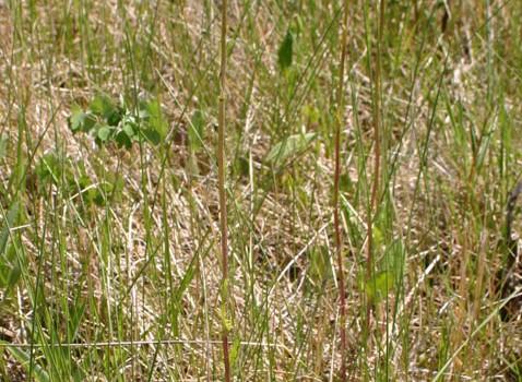 Photo of a Prairie Groundsel plant.
