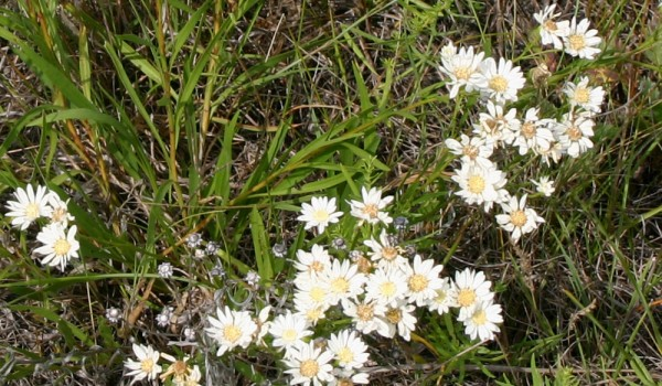 Photo of an Upland White Goldenrod plant.