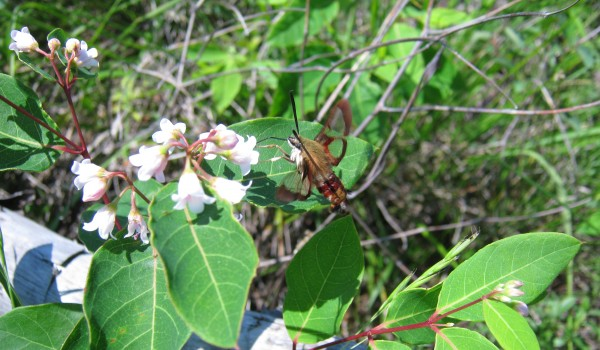 Photo of a Hummingbird Clearwing moth feeding on dogbane flower nectar.