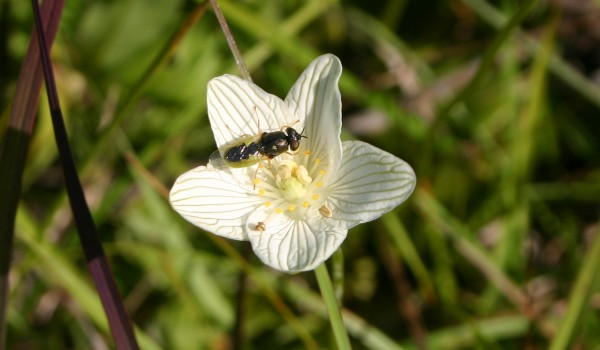 Photo of a soldier fly on a Grass-of-Parnassus flower head.