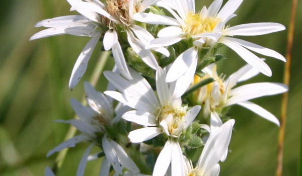 Photo of a Many-flowered Aster plant.