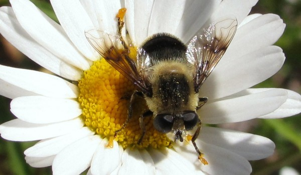 Photo of a flower fly on an aster flower head.