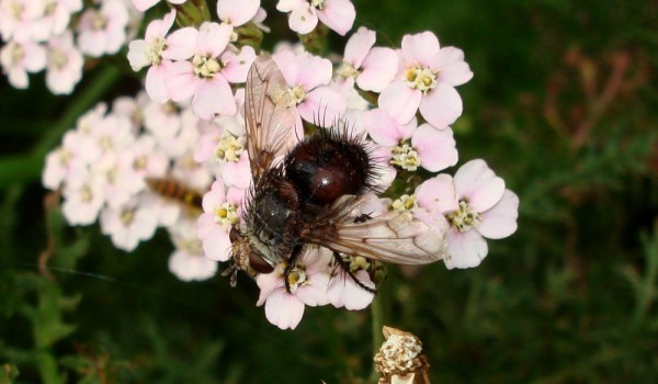 Photo of a parasitic fly on yarrow flower heads.
