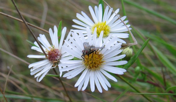 Photo of a parasitic fly on Northern Aster flower heads.