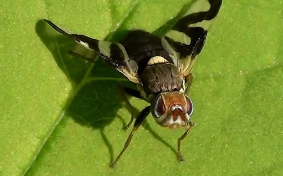Photo of a fruit fly on a leaf.