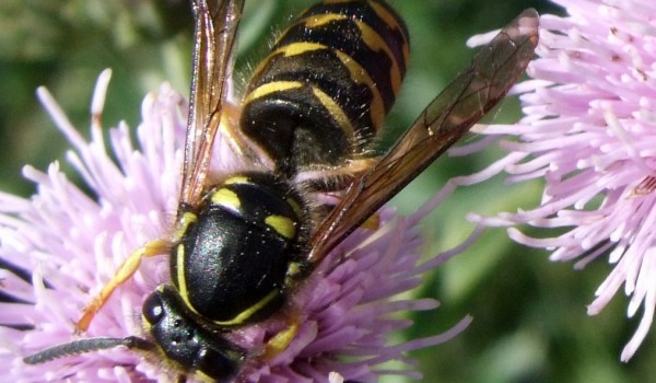 Photo of a yellowjacket wasp on a thistle flower head.