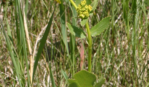 Photo of a Heart-leaved Alexander plant.